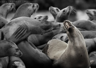 Sea Lions xsm_MG_8746_DxO copy