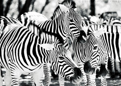 Zebras xsm5D3_9852_DxO copy